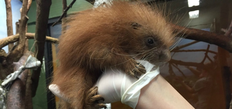 Baby Porcupine Born at National Zoo