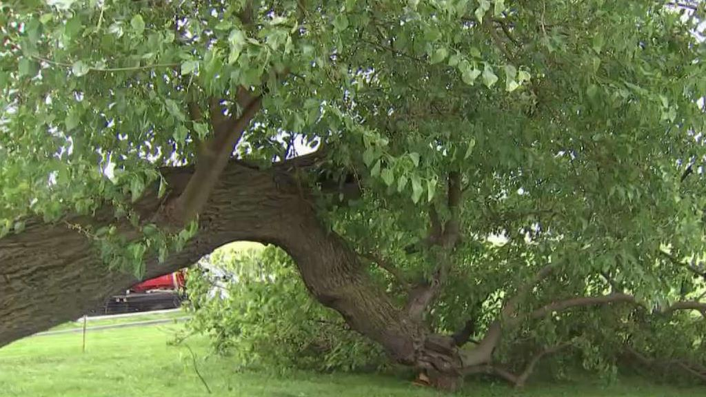 Crews Work to Save Historic Tree That Fell on National Mall
