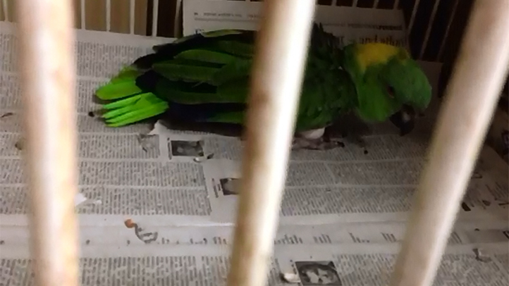 Parrot Sounds Like a Baby Crying