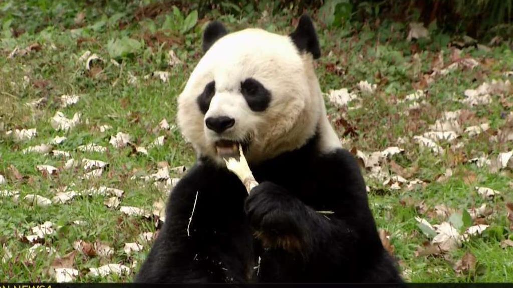 How Do You Get a Panda to Do a Check Up? With Honey Water | NBC Washington